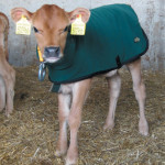 How the Calf Coat fits